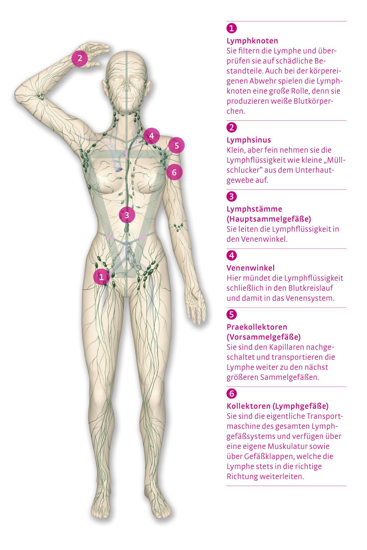Großartig Venensystem Anatomie Zeitgenössisch - Anatomie Ideen ...